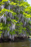 Vue de détail d'arbre de cyprès Images libres de droits