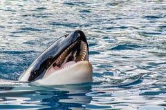 Vue de détail d'une orque avec la bouche ouverte photographie stock libre de droits