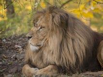 Vue de détente masculine de portrait de lion dans des couleurs jaunes images stock