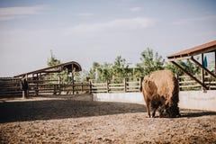 vue de face de bison dans le corral image libre de droits