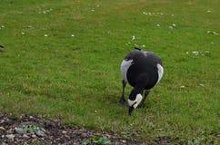 Vue de face d'oie de bernache mangeant l'herbe en parc à Munich en Allemagne photographie stock