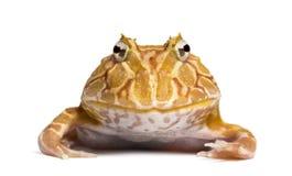 Vue de face d'une grenouille à cornes argentine regardant l'appareil-photo Photos stock