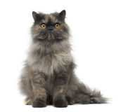 Vue de face d'une séance grincheuse de chat persan Photographie stock libre de droits