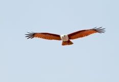 Vue de face de cerf-volant de Brahminy Photographie stock libre de droits