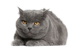 Vue de face de chat de Chartreux, se couchant Images stock