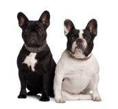 Vue de face de deux bouledogues français, se reposant Photographie stock