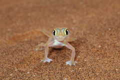 Vue de face de lézard de gecko de Palmato image libre de droits