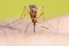 Vue de face de moustique Photo stock