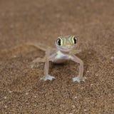 Vue de face de Palmato de lézard mignon de gecko photographie stock libre de droits