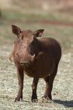 Vue de face de plan rapproché d'un warthog Images libres de droits
