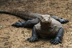 Vue de face de dragon de Komodo sur le sol brun en île de Komodo, Indones photo stock