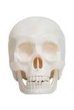 Vue de face du crâne humain d'isolement Images stock