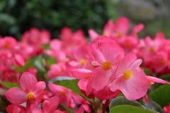 Vue de face de fleur rouge forte dans le jardin chez la Chine - foyer dans l'avant photos libres de droits