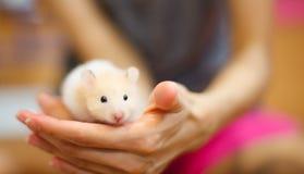 Vue de face de l'auratus orange et blanc mignon de Mesocricetus de hamster syrien ou d'or s'élevant sur la main du ` s de fille C Photo libre de droits