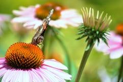 Vue de face de papillon suçant le nectar d'une fleur Photos stock