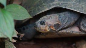 Vue de face de tortue avec les jambes et la tête à l'intérieur de sa coquille en Amazone équatorienne Noms communs : Charapa Photo stock