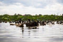 Vue de faune de la natation de canard et de caneton dans un étang avec le fond vert d'arbre image libre de droits