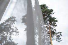 Vue de fenêtre des pins et du ciel derrière les rideaux transparents r?verie photo libre de droits