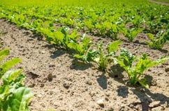 Vue de fin de gisement de betterave à sucre Photographie stock libre de droits