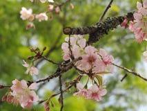 Vue de fleur d'arbre de fleurs de cerisier Images stock