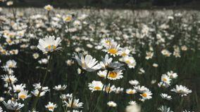 Vue de fleurs de pré de nature d'été Paysage de champ de camomille d'été Scène de champ de camomille Pré de camomille d'été clips vidéos