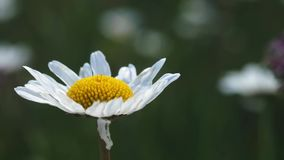 Vue de fleurs de pré de nature d'été Paysage de champ de camomille d'été Scène de champ de camomille Pré de camomille d'été banque de vidéos