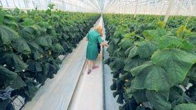 Vue de fond d'un travailleur cultivé en serre féminin vérifiant des buissons de concombre et rassemblant la récolte banque de vidéos