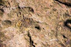 Vue de fossile d'ammonite Image libre de droits