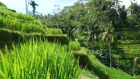 Vue de gisement de riz Photo stock
