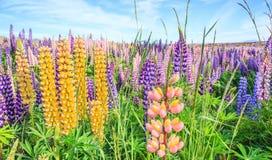 Vue de gisement de fleur de lupin près de paysage de Tekapo de lac, Nouvelle-Zélande Le divers, coloré lupin fleurit en pleine fl Image libre de droits