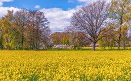 Vue de gisement fleurissant de graine de colza début mai Île d'Oland sweden photos libres de droits