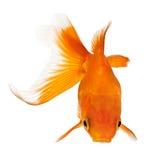 Vue de Goldfish de ci-avant Images stock