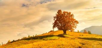 Vue de haut, vieux, puissant hêtre en montagne d'automne photo libre de droits