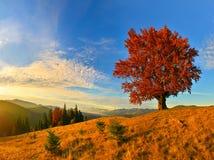 Vue de haut, vieux, puissant hêtre en montagne d'automne image stock