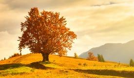 Vue de haut, vieux, puissant hêtre en montagne d'automne photographie stock libre de droits