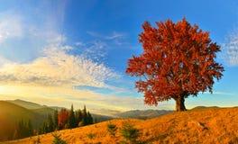 Vue de haut, vieux, puissant hêtre en montagne d'automne images stock