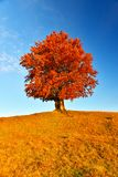 Vue de haut, vieux, puissant hêtre en montagne d'automne images libres de droits