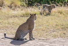 Vue de léopard femelle regardant fixement l'petit animal par derrière Photo libre de droits