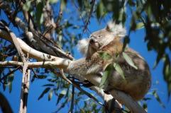 Vue de l'oeil du koala image stock