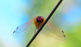 Vue de l'oeil du ver de la libellule rouge de queue se tenant sur le fil Photos stock