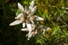 Vue de la fleur d'edelweiss en montagnes de Bucegi, Roumain Carpathiens photographie stock libre de droits