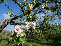 Vue de la fleur de pomme Photographie stock libre de droits