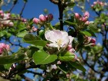 Vue de la fleur de pomme Photos libres de droits