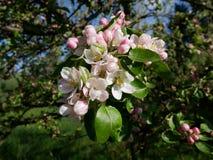 Vue de la fleur de pomme Image stock