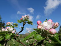 Vue de la fleur de pomme Photo libre de droits