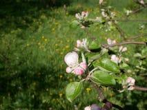 Vue de la fleur de pomme Photos stock