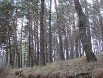 Vue de la forêt de pin ci-dessous Les pins grands et minces recherchent dans le ciel images libres de droits