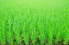 Vue de la jeune pousse de riz prête à l'élevage Photo stock