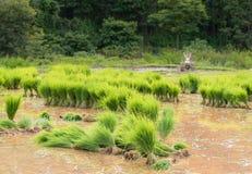 Vue de la jeune pousse de riz prête à l'élevage Image stock