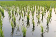 Vue de la jeune pousse de riz prête à dans le terrain de riz Images stock